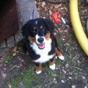 A picture of a young bernese mountain dog called Suni, smiling into the camera with a feather on her head